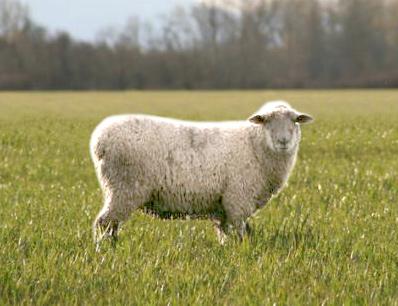 В Липецкой области свиньи и овцы заменяют коров
