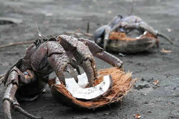 Birgus latro - Кокосовый краб или Пальмовый вор