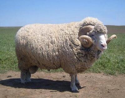 Овца меринос - шерсть для зимней стороны матрасов зима-лето