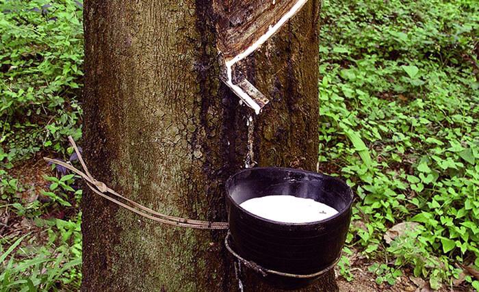 Сбор млечного сока гевеи (латекса)