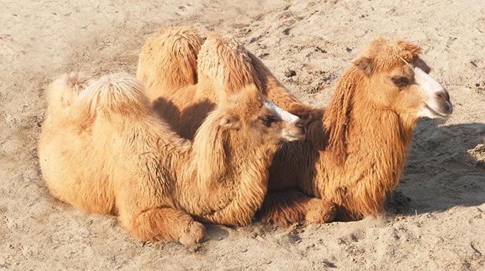 Пледы из шерсти - верблюды