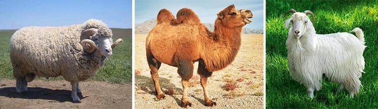 Меринос, Верблюд и Кашмирская коза